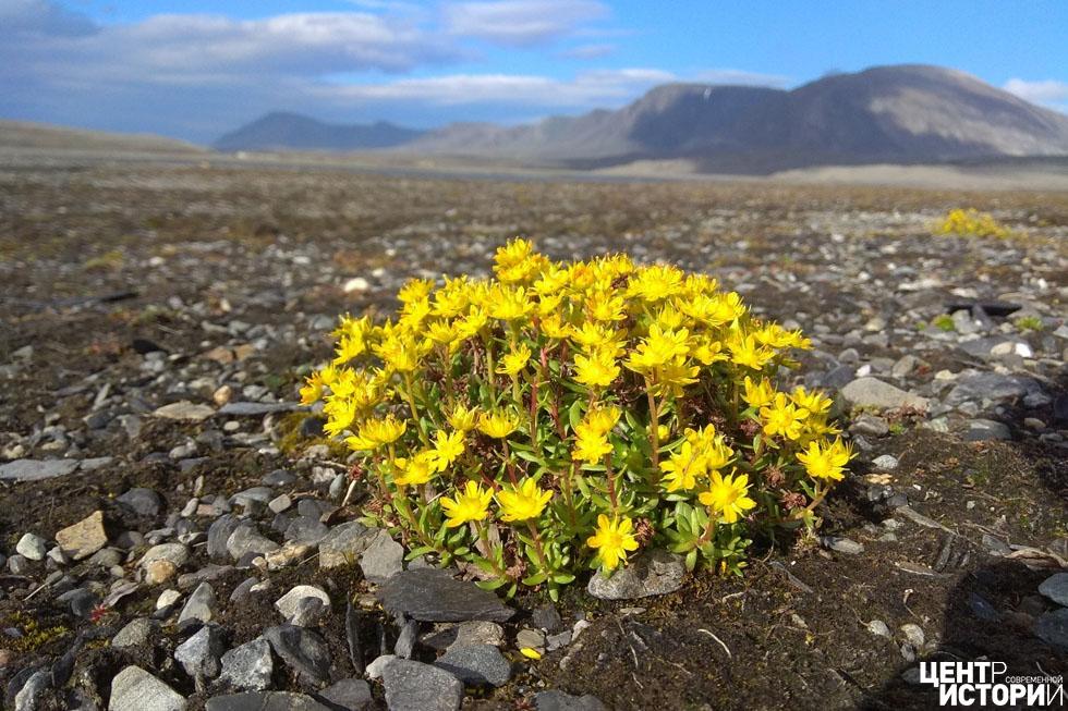 Цветы на острове Новая Земля